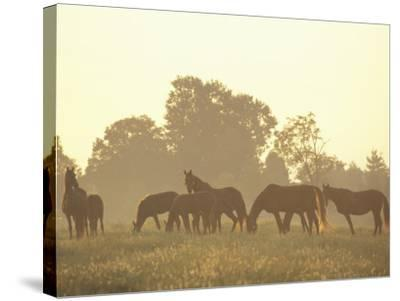 Thoroughbred Race Horses at Sunrise, Louisville, Kentucky, USA-Adam Jones-Stretched Canvas Print