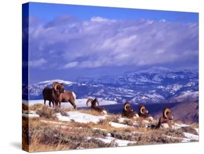Six Bighorn Rams, Whiskey Mountain, Wyoming, USA-Howie Garber-Stretched Canvas Print