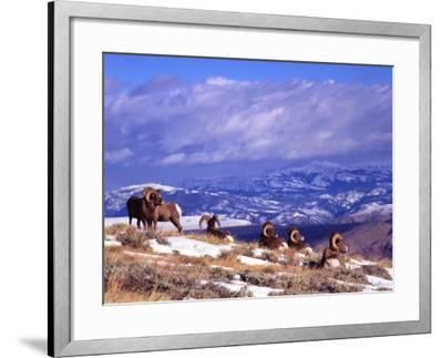 Six Bighorn Rams, Whiskey Mountain, Wyoming, USA-Howie Garber-Framed Photographic Print