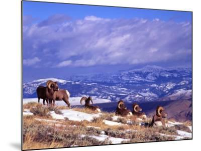 Six Bighorn Rams, Whiskey Mountain, Wyoming, USA-Howie Garber-Mounted Photographic Print