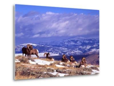 Six Bighorn Rams, Whiskey Mountain, Wyoming, USA-Howie Garber-Metal Print