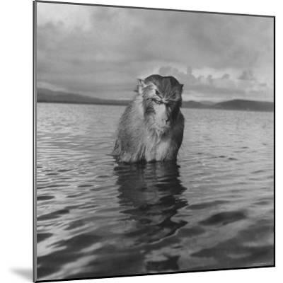 Rhesus Monkey Sitting in Water Up to His Chest-Hansel Mieth-Mounted Photographic Print