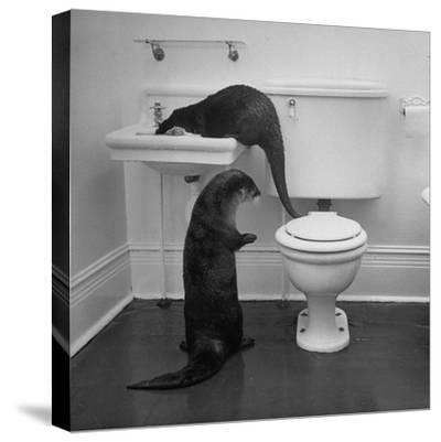 Otters Playing in Bathroom-Wallace Kirkland-Stretched Canvas Print
