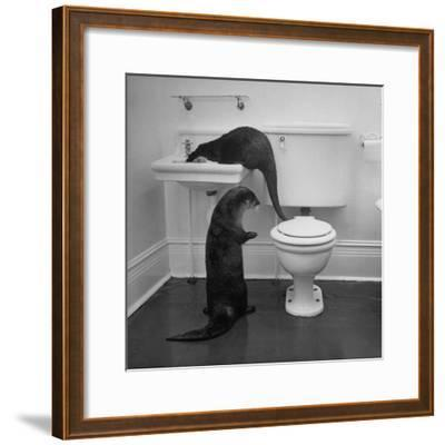 Otters Playing in Bathroom-Wallace Kirkland-Framed Premium Photographic Print