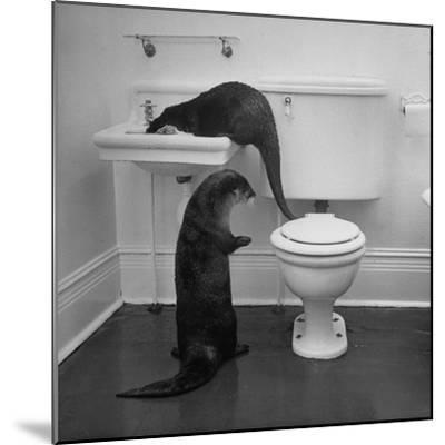 Otters Playing in Bathroom-Wallace Kirkland-Mounted Premium Photographic Print