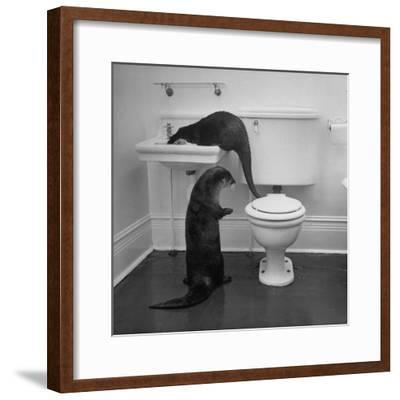Otters Playing in Bathroom-Wallace Kirkland-Framed Photographic Print