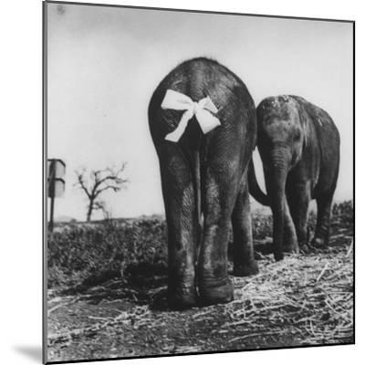 Baby Elephants Rehearsing For a Performance-Loomis Dean-Mounted Photographic Print