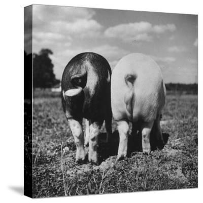 Rear View of Black Hog, with Overweight, White Hog, at Department of Agriculture Experiment Station-Al Fenn-Stretched Canvas Print