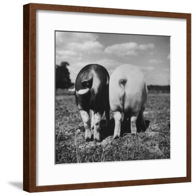 Rear View of Black Hog, with Overweight, White Hog, at Department of Agriculture Experiment Station-Al Fenn-Framed Photographic Print