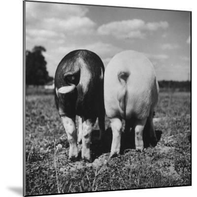 Rear View of Black Hog, with Overweight, White Hog, at Department of Agriculture Experiment Station-Al Fenn-Mounted Photographic Print