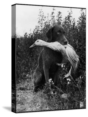 Chesapeake Bay Retriever Trigger Holds Donald the Duck After being thrown Into Water by Owner-Loomis Dean-Stretched Canvas Print