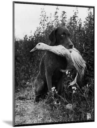 Chesapeake Bay Retriever Trigger Holds Donald the Duck After being thrown Into Water by Owner-Loomis Dean-Mounted Photographic Print
