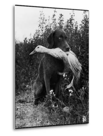 Chesapeake Bay Retriever Trigger Holds Donald the Duck After being thrown Into Water by Owner-Loomis Dean-Metal Print