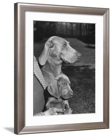 Champion Weimaraner and her 8-week-old male puppy with proud owner Mrs. Harold Goldsmith.-Bernard Hoffman-Framed Photographic Print