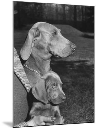 Champion Weimaraner and her 8-week-old male puppy with proud owner Mrs. Harold Goldsmith.-Bernard Hoffman-Mounted Photographic Print