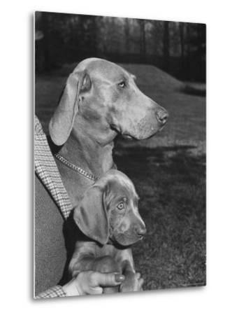 Champion Weimaraner and her 8-week-old male puppy with proud owner Mrs. Harold Goldsmith.-Bernard Hoffman-Metal Print