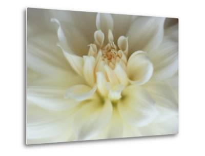 White Dahlia Close-up-Janell Davidson-Metal Print