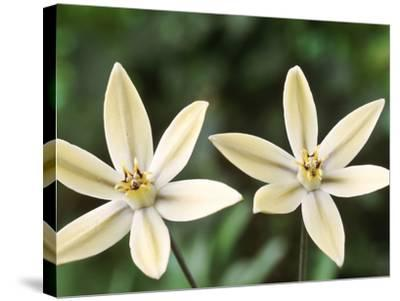 "Triteleia Ixioides ""Starlight"" (Pretty Face)-Chris Burrows-Stretched Canvas Print"