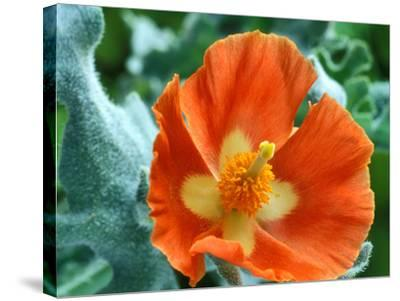 Glaucium Corniculatum, Close-up of Orange Flower Head-Chris Burrows-Stretched Canvas Print