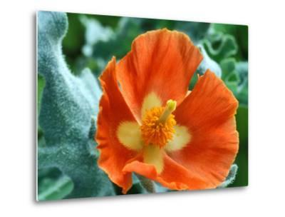 Glaucium Corniculatum, Close-up of Orange Flower Head-Chris Burrows-Metal Print
