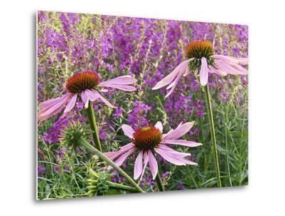 Echinacea Purpurea Magnus and Lythrum Virgatum (Purple Conflower and European Wand Loosestrife)-Michael Davis-Metal Print