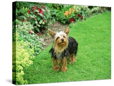 Yorkshire Terrier in Garden Setting-Zara Mccalmont (napier)-Stretched Canvas Print