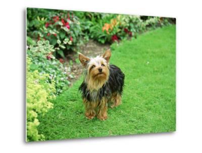 Yorkshire Terrier in Garden Setting-Zara Mccalmont (napier)-Metal Print