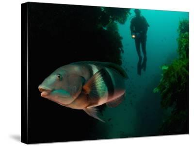 Sandagers Wrasse and Diver, New Zealand-Tobias Bernhard-Stretched Canvas Print