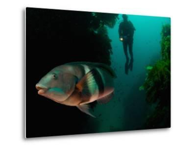 Sandagers Wrasse and Diver, New Zealand-Tobias Bernhard-Metal Print