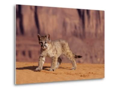 Mountain Lion, Portrait of Young Cub, USA-Daniel J. Cox-Metal Print