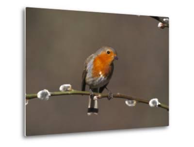 Robin, Perched on Pussy Willow, UK-Mark Hamblin-Metal Print