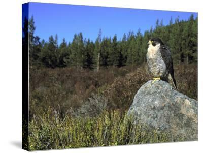 Peregrine Falcon, Adult Male on Rock Showing Moorland Habitat, Scotland-Mark Hamblin-Stretched Canvas Print