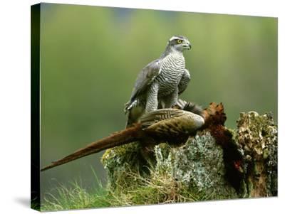 Goshawk, Feeding on Pheasant, Scotland-Mark Hamblin-Stretched Canvas Print