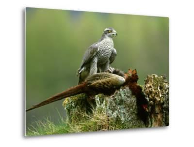 Goshawk, Feeding on Pheasant, Scotland-Mark Hamblin-Metal Print