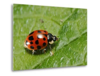 Harlequin Ladybird on Alkanet Leaf, London, UK-Elliot Neep-Metal Print