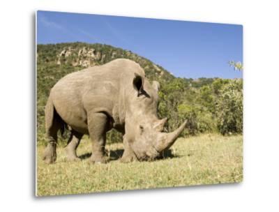 White Rhino, Breeding Animal for Introduction Eleswhere in Kenya, Kenya-Mike Powles-Metal Print