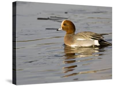 Wigeon, Male in Breeding Plumage, UK-Mike Powles-Stretched Canvas Print