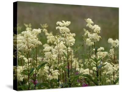 Meadowsweet, Orkeney Mainland-Iain Sarjeant-Stretched Canvas Print