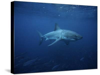 Great White Shark, Swimming, South Australia-Gerard Soury-Stretched Canvas Print