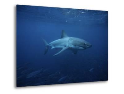 Great White Shark, Swimming, South Australia-Gerard Soury-Metal Print