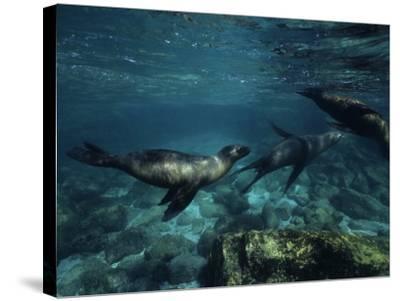 Californian Sea Lion, Underwater, Baja California-Gerard Soury-Stretched Canvas Print