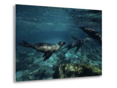 Californian Sea Lion, Underwater, Baja California-Gerard Soury-Metal Print