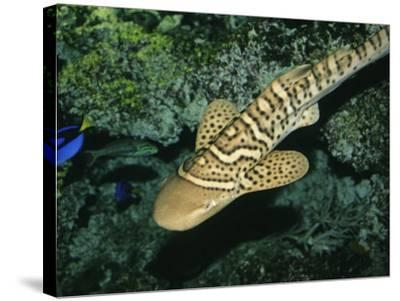 Zebra Shark or Leopard Shark, Juvenile Swimming, Australia-Gerard Soury-Stretched Canvas Print