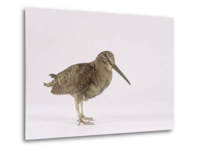 Woodcock, St. Tiggywinkles, UK-Les Stocker-Metal Print
