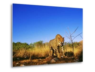 Cheetah, Snarling at Camera, South Africa-David Tipling-Metal Print