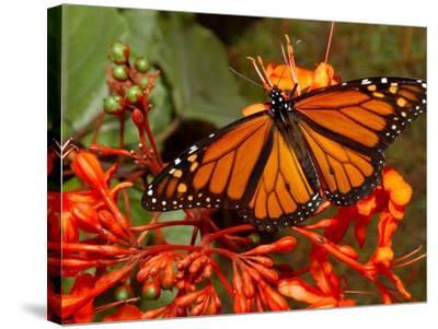 A Monarch Butterfly Rests on the Flowers of a Pagoda Plant--Stretched Canvas Print