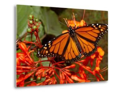 A Monarch Butterfly Rests on the Flowers of a Pagoda Plant--Metal Print