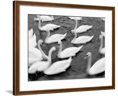 Swans on the Reuss River, Lucerne, Switzerland-Walter Bibikow-Framed Photographic Print
