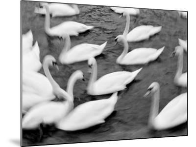 Swans on the Reuss River, Lucerne, Switzerland-Walter Bibikow-Mounted Photographic Print