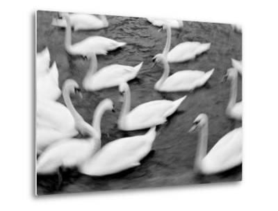 Swans on the Reuss River, Lucerne, Switzerland-Walter Bibikow-Metal Print